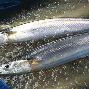 特大トロ秋刀魚 4kg(18本~24本)