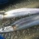 【10月31日で終了】特大トロ秋刀魚 4kg(18本〜24本) - 縮小画像6
