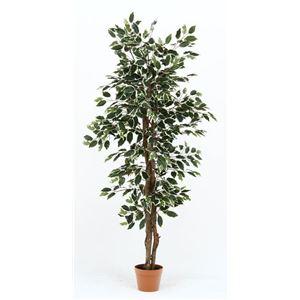 観葉植物 フィカス 690 B