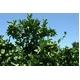 L‐アルギニン配合健康サポート茶 まるごと青みかんティー 30杯分【3袋セット!】 - 縮小画像3