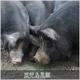 鹿児島黒豚 焼肉用(単品) ロース500g 写真5