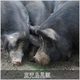 鹿児島黒豚 焼肉用(単品) もも500g - 縮小画像5
