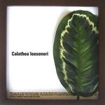 Calathea Loeseneri(カラテア・ロエセネリ)