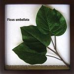 Ficus Umbellata(フィカス ウンベラータ) タイプ3