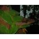 天然霊芝茶「神泉」 4箱セット - 縮小画像3