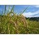 【21年産米】山形県庄内産ミルキークイーン 20kg(5kg入りx4袋) - 縮小画像3