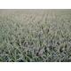 2kg 400g×5袋入 青森産古代米・減農薬無化学肥料 紫黒米(モチ) - 縮小画像6