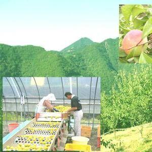 【訳あり】紀州南高梅・はねだし梅ハチミツ 500g×4(合計2kg)