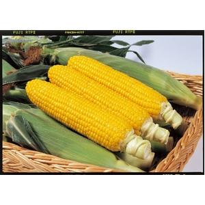 【9月2日で終了 生でも食べられるとうもろこし】朝一番採りを直送!フルーツコーン「ゴールドラッシュ」 5kg - 拡大画像