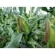 【生でも食べられるとうもろこし】朝一番採りを直送!フルーツコーン「ゴールドラッシュ」 5kg 写真3