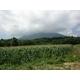 【9月2日で終了 生でも食べられるとうもろこし】朝一番採りを直送!フルーツコーン「ゴールドラッシュ」 5kg 写真4