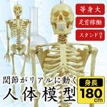 人体模型 人体骨格模型 等身大 180cm リアル 手・足・頭・顎・肩・ひじ・手首・足首稼働 お部屋のインテリア、オブジェや人物の絵画や彫刻の基本 ハロウィン、イベント、肝試し
