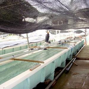 【訳あり】国産養殖アワビ1キロ(38~48個)