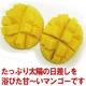 【完全予約販売 早期予約限定価格 訳あり】★沖縄産 糖度13度以上★美味しい訳ありマンゴー1.5キロ(3玉〜5玉) 写真2