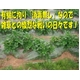 特別栽培農家直送「新じゃがいも」M〜2Lサイズ 10kg 写真4