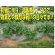【オススメ!】特別栽培農家直送「新じゃがいも(70g未満サイズ)」 10kg 写真4