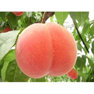 【9月17日で終了】献上桃級フルーツ王国福島の最上級極甘プレミアム桃 【高糖度】 5キロ 【14〜22個】 - 拡大画像