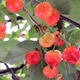 【母の日限定】メッセージカード付き さくらんぼ佐藤錦24粒と生花カーネーションのセット 写真6