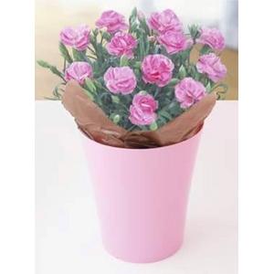【4月30日10時で予約終了 毎年数十万件の出荷実績元から出荷】母の日メッセージカード付き カーネーション ピンク