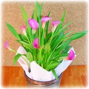 【母の日ギフト!5月5日まで!】カラー ピンク系 バスケット 5号鉢