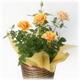 【母の日ギフト!5月5日まで!】ミニバラ バスケット オレンジ系 5号鉢
