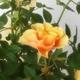 【母の日ギフト!5月5日まで!】ミニバラ バスケット オレンジ系 5号鉢 写真2