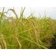 【平成22年産新米】 澤田農場の新潟県上越産ミルキークイーン玄米(5kg×3袋) 写真5