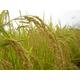 【平成22年産新米】澤田農場のオリジナルブレンド米(三和音)玄米(5kg×2袋) 写真2