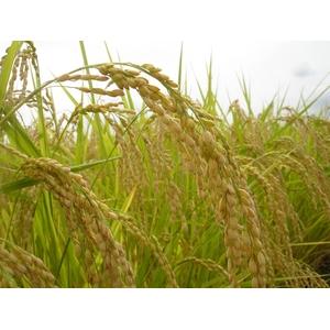 澤田農場のオリジナルブレンド米(三和音)白米 20kg(5kg×4袋)