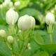 海東ブラザース ジャスミン茶 有機JAS認定商品 無添加・無着色・無香料 【500ml×48本】 写真3