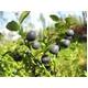 食べるサプリ「生まれも育ちも確かなビルベリー 90粒」ファーベリー pharberry  【1本】 - 縮小画像6