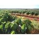 ハワイコナ・ハワイコナクイーン農園 エキストラファンシー【粉 中挽き】 500g - 縮小画像2