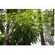 国産ユーカリ葉含有加工食品 王子 ベビーリーフ スリム - 縮小画像5