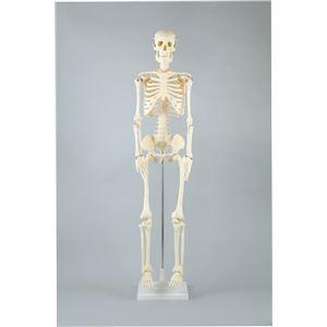 (まとめ)アーテック 人体骨格模型 85cm 【×1セット】