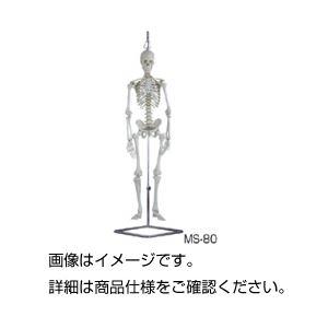 人体骨格模型 MS-80の詳細を見る