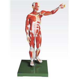 人体解剖模型 【男性/27分解】 塩化ビニール製 台付き J-111-2
