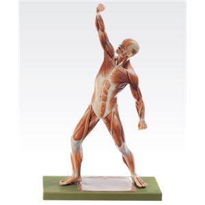 成人男性筋肉模型(人体解剖模型) 1体型モデル J-111-4