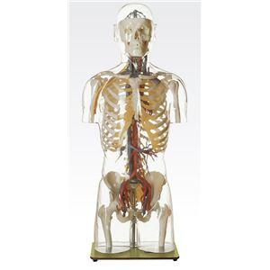 透明トルソ/人体解剖模型 【循環器人体モデル】 等身大 1体型モデル J-113-5 - 拡大画像