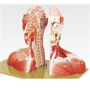 頭部半截モデル/人体解剖模型 【19分解】 頭蓋冠取りはずし可 脳:8個分解可 J-116-0 - 拡大画像