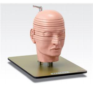 頭部水平断模型/人体解剖模型 【12分解】 J-...の商品画像