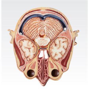 頭部水平断模型/人体解剖模型 【12分解】 J...の紹介画像2