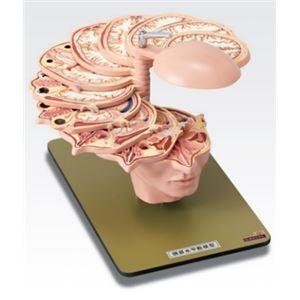 頭部水平断模型/人体解剖模型 【12分解】 J...の紹介画像3