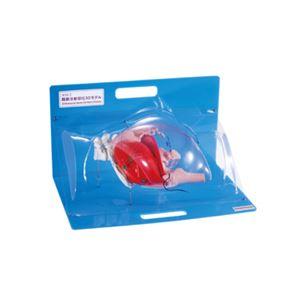 殿筋注射部位クリア3Dモデル/看護実習モデル 【注射針刺入可】 M-152-2 - 拡大画像