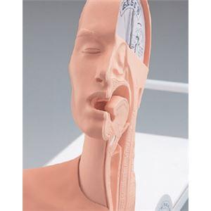 嚥下のメカニズム模型(看護実習モデル) 解剖部...の紹介画像5