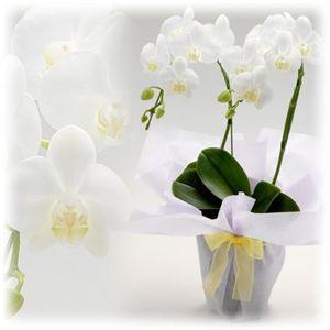 【母の日ギフト!4月30日まで延長】ミディ胡蝶蘭 「美花和」 2本立 - 拡大画像