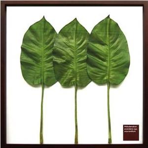 風景専門店あゆわら 《リーフパネル》Philodendron scandens ssp. Oxycardium(フィロデンドロン・オキシカルジウム/ ヒメカズラ) - 拡大画像