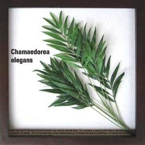 《リーフパネル》Chamaedorea elegans(テーブルヤシ) - 拡大画像