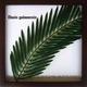 風景専門店あゆわら 《リーフパネル》Elaeis guineensis(ギニアアブラヤシ) タイプ4 【サイズ 325x325x20mm】 - 縮小画像1