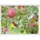 【訳あり!りんご】甘くてジューシー山形県産サンふじ10kg(36玉〜40玉) - 縮小画像3