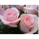 ピンクのバラ花束のミニブーケ - 縮小画像3